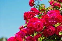Bush of beautiful roses in a garden Stock Photos