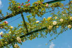 Bush of beautiful roses in a garden Stock Image