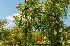 Bush of beautiful roses in a garden Royalty Free Stock Photos