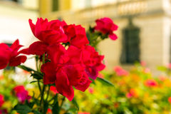 Bush of beautiful roses in a garden Royalty Free Stock Image