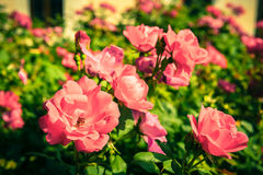 Bush of beautiful roses in a garden Royalty Free Stock Images