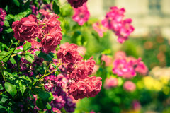 Bush of beautiful roses in a garden. Filtered shot Stock Photos