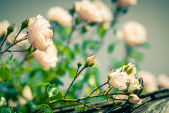 Bush of beautiful roses in a garden. Filtered shot Royalty Free Stock Images