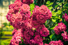 Bush of beautiful roses in a garden. Filtered shot Royalty Free Stock Photos