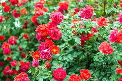 Bush of beautiful roses in a garden. Beautiful roses in garden, in full bloom Royalty Free Stock Photos