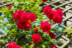 Bush of beautiful roses in a garden Stock Images