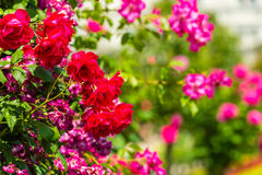 Bush of beautiful roses in a garden. Horizontal shot Royalty Free Stock Image