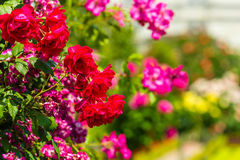 Bush of beautiful roses in a garden. Horizontal shot with a selective focus Royalty Free Stock Photos