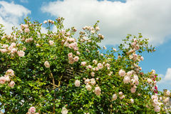 Bush of beautiful roses in a garden. Horizontal shot with a selective focus Royalty Free Stock Photography