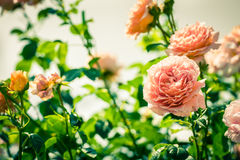 Bush of beautiful roses in a garden Royalty Free Stock Photo