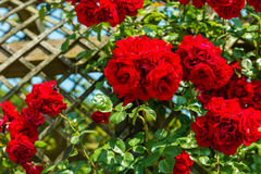 Bush of beautiful roses in a garden. Sunny shot Stock Image