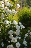 The Bush white rose in the sun light in the summer royalty free stock photography