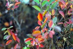 The bush of Berberis thunbergii Green Carpet in the autumn royalty free stock photography