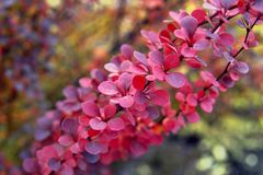 The bush of Berberis thunbergii Green Carpet in the autumn royalty free stock images