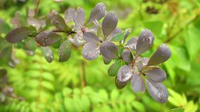 Bush Berberis w lato ogródzie po deszczu Zbliżenie, płytki DOF zdjęcie wideo