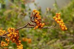 Bush Berries Royalty Free Stock Photo
