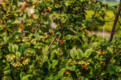 Bush with berries Stock Photos