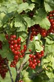 Bush with berries of a red currant stock photo