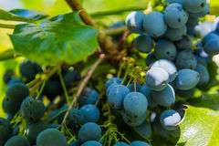 Bush Berries Wild Nature Leaves Green Blue Plant Royalty Free Stock Image