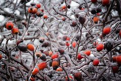 Bush with berries of wild rose in the ice. Royalty Free Stock Photo