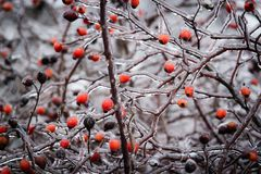 Bush with berries of wild rose in the ice. Stock Image