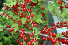 Bush of the berry cherry. Ripe bush of the red berry cherry Stock Photography