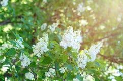 Bush biały bez na tle zieleni liście Zdjęcia Royalty Free