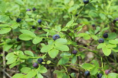 Bush bilberry. Bush with biberries in the forest Stock Photography