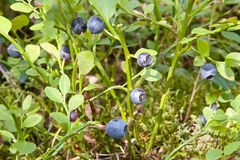 Bush of bilberry in the forest Royalty Free Stock Images