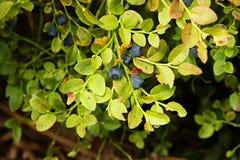 Bush blåbär Arkivbild
