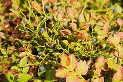 Bush blåbär Arkivfoto
