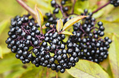 Bush with black berries Royalty Free Stock Images