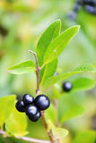 Bush with black berries Stock Photo
