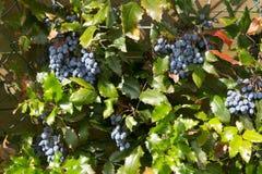 Bush with black berries - Viburnum dentatum Stock Images