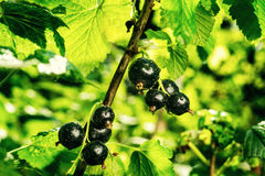 Bush of black currant growing in a garden.Background of black cu Royalty Free Stock Photos