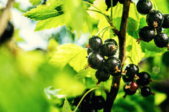 Bush of black currant growing in a garden.Background of black cu Stock Images
