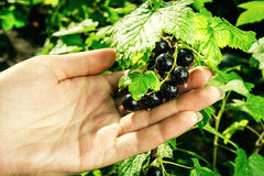 Bush of black currant growing in a garden.Background of black cu Stock Photo