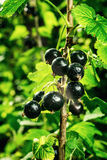 Bush of black currant growing in a garden.Background of black cu Stock Photos
