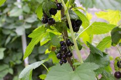 Bush of black currants Royalty Free Stock Photo