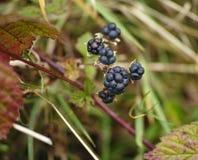 The bush of blackberry at garden Stock Image