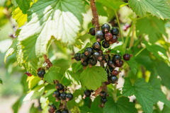 Bush of blackcurrant berries in a garden. Sparkling in summer sun bunch ripe juicy blackberry. Hanging from branch royalty free stock images