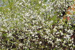 Bush of blackthorn Royalty Free Stock Images