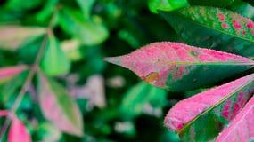 Bush blad Arkivfoton