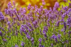 Bush-bloeien, laag, aangestoken door purpere hete lavendelzon, de zomer dag i Stock Fotografie