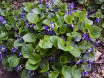 Bush blommande violets på jordningen Arkivbild