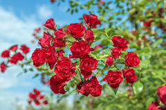 Bush blommor blommade röda rosor Arkivfoton