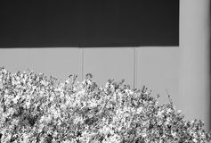 Bush in bloom against plaster wall in black and white. stock photos