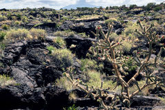 Bush blooming cactus Cholla on background lava field. Valley of Royalty Free Stock Photo