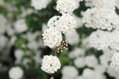 Bush of blooming hawthorn in the summer. Day Stock Images