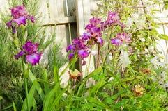 Bush blooming iris garden Royalty Free Stock Photos
